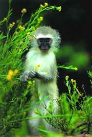 Vervet Maymunu
