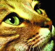 Kedilerin Özel Gözleri
