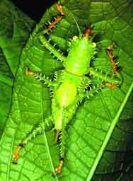 Taklitçi Katydidler