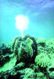 Tropikal Sulardaki Dev Deniz Taraklarý