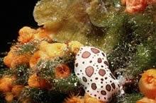 Deniz Altýnda Ýlginç Bir Canlý Nudibranch