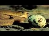 Yumurta yiyen yýlan
