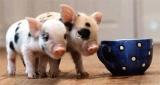 Ev hayvanýnda son trend: Mikro domuz