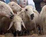 En ucuz koyun nerede satýlýyor?