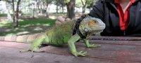 Tasmalý iguana