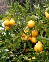 Limon üreticileri fiyatýn düþmesine çareler arýyor